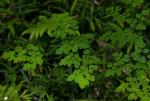 Thalictrum rhynchocarpum