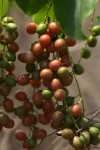 Tinospora caffra