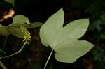 Dioscoreophyllum cumminsii var. leptotrichos