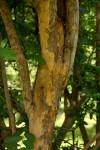Cleistochlamys kirkii
