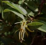 Xylopia odoratissima