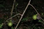 Artabotrys brachypetalus