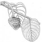 Annona senegalensis subsp. senegalensis