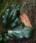 Cryptocarya liebertiana