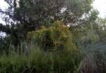 Cassytha filiformis