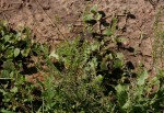 Lepidium bonariense