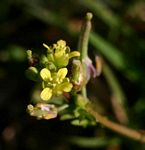 Rorippa micrantha