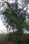 Capparis sepiaria var. subglabra