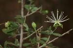 Maerua parvifolia