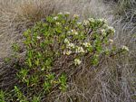 Crassula sarcocaulis subsp. sarcocaulis