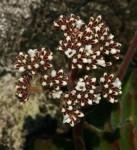 Crassula swaziensis subsp. swaziensis var. swaziensis