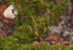 Myrothamnus flabellifolius