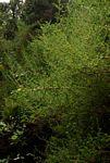 Cliffortia serpyllifolia