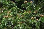 Albizia gummifera