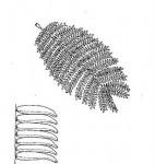 Albizia harveyi