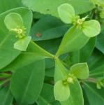 Euphorbia goetzei