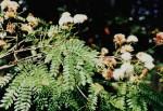Albizia zimmermannii