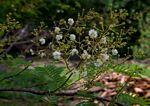 Acacia adenocalyx