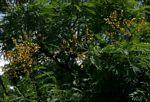 Acacia amythethophylla