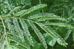 Acacia eriocarpa