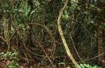 Acacia pentagona