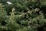 Acacia robusta subsp. clavigera