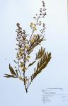 Acacia schweinfurthii
