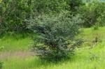 Acacia senegal var. leiorhachis