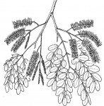 Erythrophleum africanum