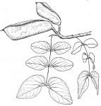 Brachystegia spiciformis