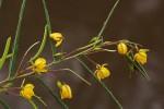 Chamaecrista mimosoides