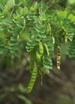 Calpurnia aurea subsp. aurea