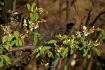 Baphia massaiensis subsp. obovata var. obovata