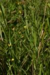 Crotalaria caudata
