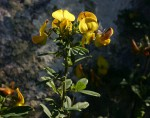 Crotalaria gazensis subsp. gazensis