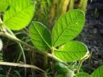 Crotalaria lachnocarpoides