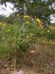 Crotalaria lachnophora