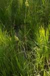 Crotalaria lanceolata subsp. lanceolata