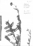 Crotalaria natalitia var. natalitia