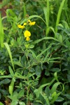 Crotalaria podocarpa