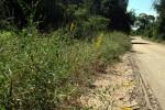Crotalaria senegalensis