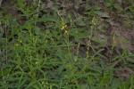 Crotalaria sphaerocarpa subsp. sphaerocarpa