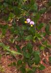 Crotalaria variegata