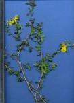 Crotalaria virgulata subsp. grantiana