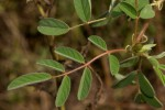 Indigofera astragalina