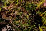 Indigofera lyallii subsp. lyallii