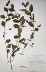 Indigofera nummulariifolia