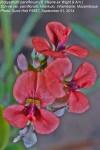 Indigastrum parviflorum subsp. parviflorum var. parviflorum
