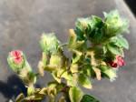Indigofera strobilifera subsp. strobilifera