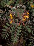 Aeschynomene megalophylla